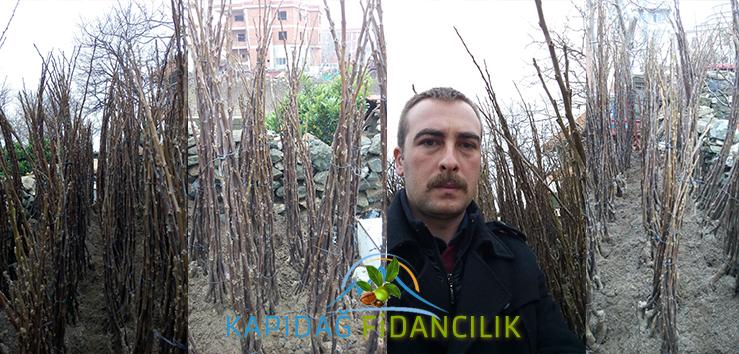 acik-koklu-ceviz-fidani-kapidag